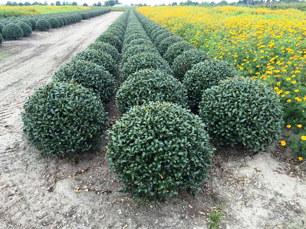 A Selection Of Most Used Landscaping Plants At Competitive Prices, All  Offered In Root Ball.
